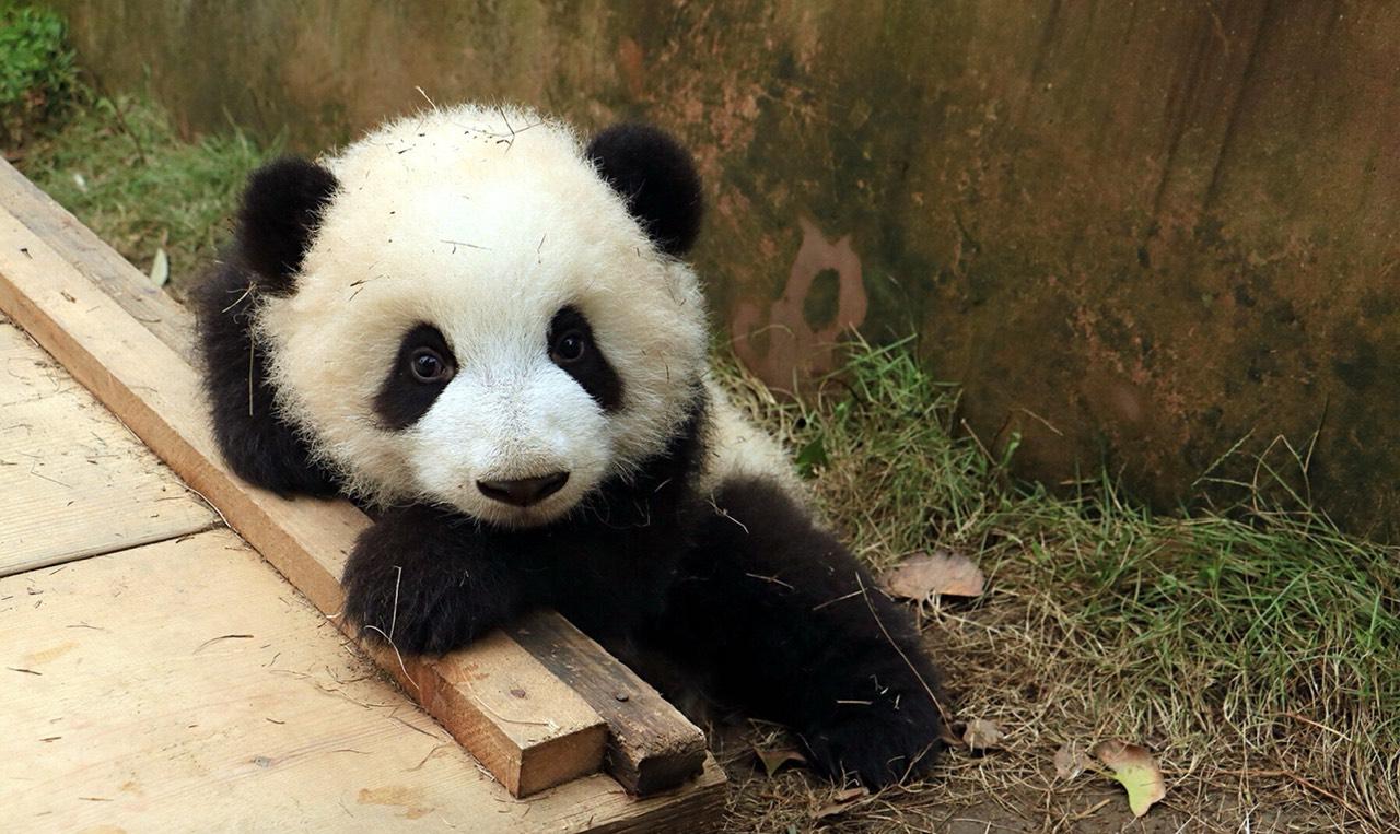 壁纸 大熊猫 动物 1280_763